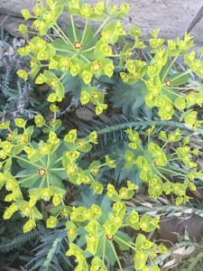 March - Wordless Wednesday - Euphorbia rigida