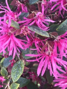 March - Wordless Wednesday - Loropetalum