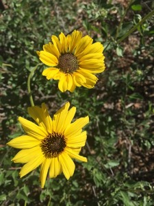 March - Wordless Wednesday - Slender Stem Sunflower