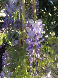 March - Wordless Wednesday Wisteria