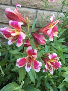 April - Wordless Wednesday Alstroemeria