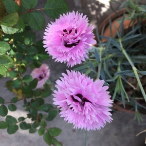April - Wordless Wednesday Dianthus caryophyllus