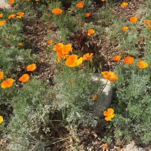 April - Wordless Wednesday Eschscholzia