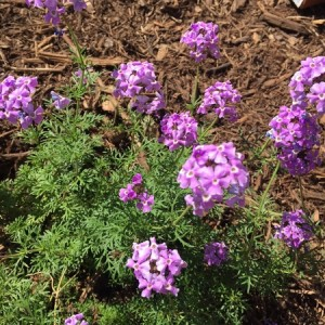 April - Wordless Wednesday Verbena lilaciana 'de la Mina'