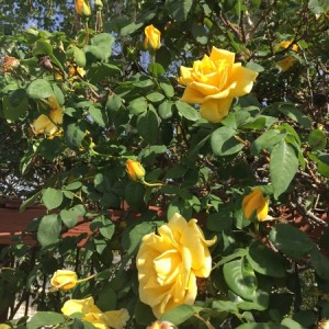 April - Wordless Wednesday Yellow Climbing Roses