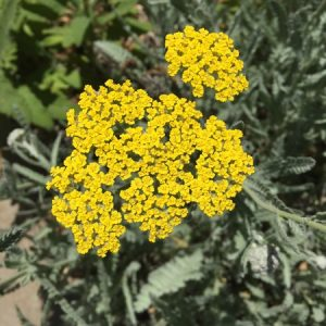 May - Wordless Wednesday - Achillea