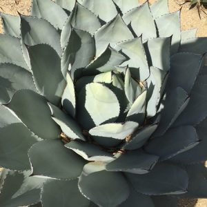 May - Wordless Wednesday Agave