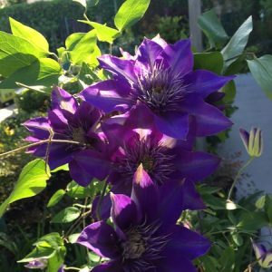 May - Wordless Wednesday Clematis