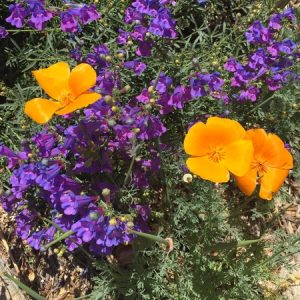 May - Wordless Wednesday Penstemon Margarita BOP w-Eschscholzia
