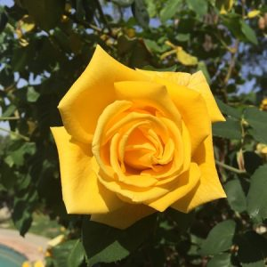 May - Wordless Wednesday Yellow Rose