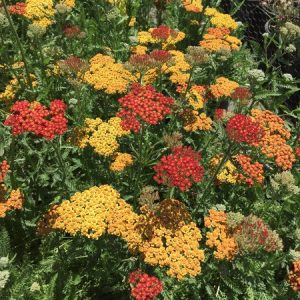 July - Wordless Wednesday - Achillea