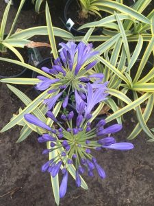 July - Wordless Wednesday - Agapanthus 'Summer Gold'