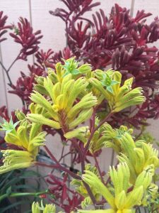 July - Wordless Wednesday - Anigozanthus