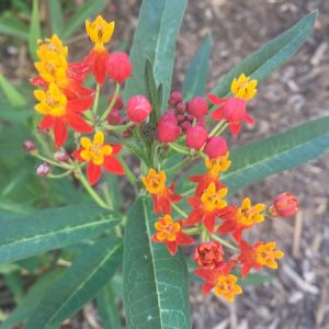 July - Wordless Wednesday - Asclepias Silky Red