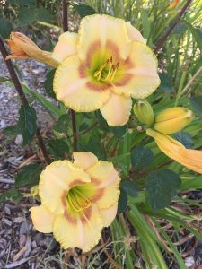 July - Wordless Wednesday - Hemerocallis (Peach)
