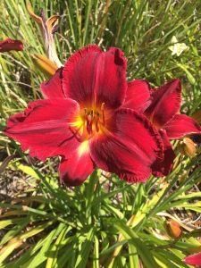 July - Wordless Wednesday - Hemerocallis (Red)