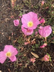 July - Wordless Wednesday - Oenothera speiosa