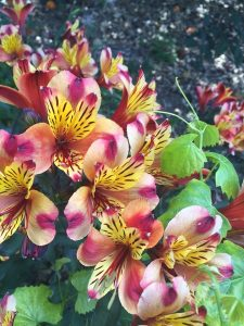 June - Wordless Wednesday Alstroemeria 'Indian Summer'