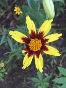 August - Wordless Wednesday Coreopsis