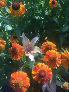 August - Wordless Wednesday Daylly in Zinnias