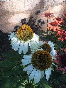 August - Wordless Wednesday Echinacea mixed