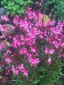 August - Wordless Wednesday Gaura