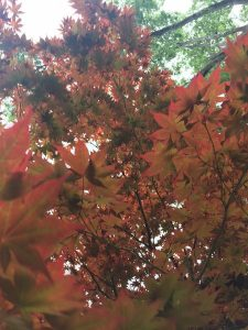 August - Wordless Wednesday Maple Leaves
