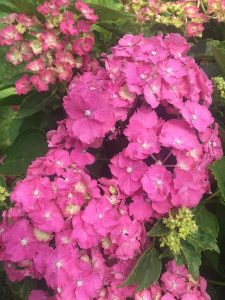 August - Wordless Wednesday Pink Hydrangea