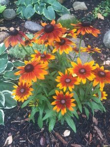 August - Wordless Wednesday Rudbeckia w-Hostas