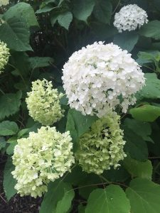 July - Wordless Wednesday - Hydrangea White