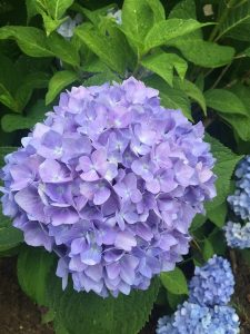 July - Wordless Wednesday - Hydrangea blue