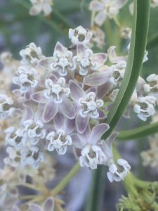 september-wordless-wednesday-asclepias-fascicularis