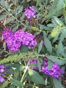 september-wordless-wednesday-buddleja