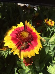 september-wordless-wednesday-gaillardia