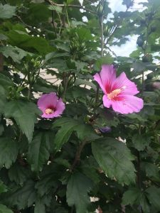 september-wordless-wednesday-hibiscus-syriacus-lavender