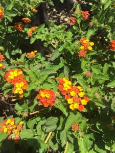 september-wordless-wednesday-lantana