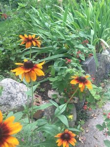 september-wordless-wednesday-rudbeckia
