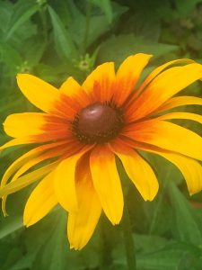 september-wordless-wednesday-rudbeckia-close-up