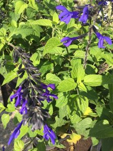 september-wordless-wednesday-salvia-black-blue