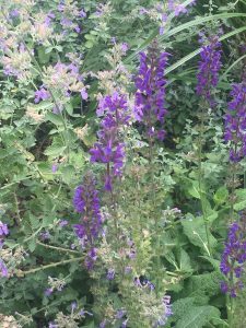 september-wordless-wednesday-salvia-w-nepeta