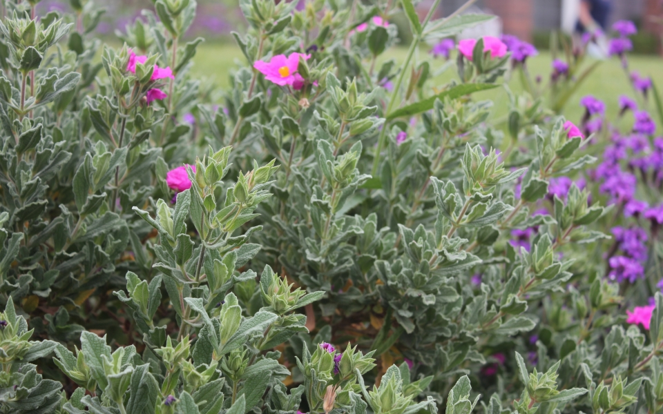 valencia-lawn-reduction-rockrose-with-verbena-rigida