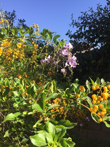 december-wordless-wednesday-duranta-in-its-winter-glory