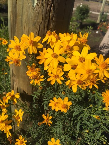 december-wordless-wednesday-tagetes