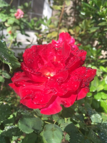 november-wordless-wednesday-rose-2