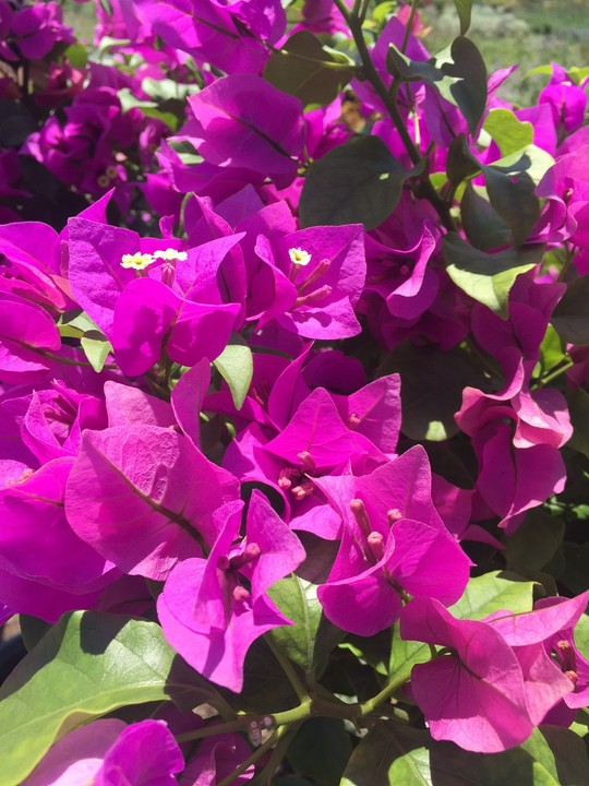 october-wordless-wednesday-bougainvillea-purple-queen