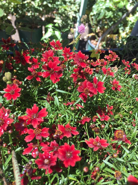october-wordless-wednesday-coreopsis-red