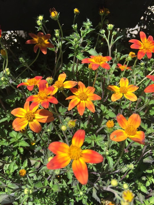 october-wordless-wednesday-coreopsis