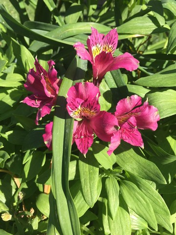 january-wordless-wednesday-alstroemeria