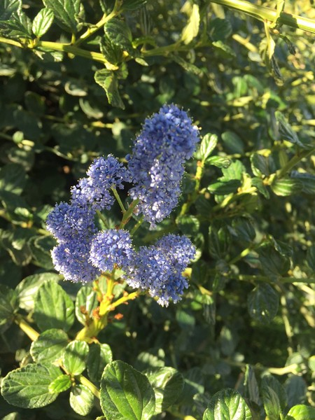 january-wordless-wednesday-ceanothus